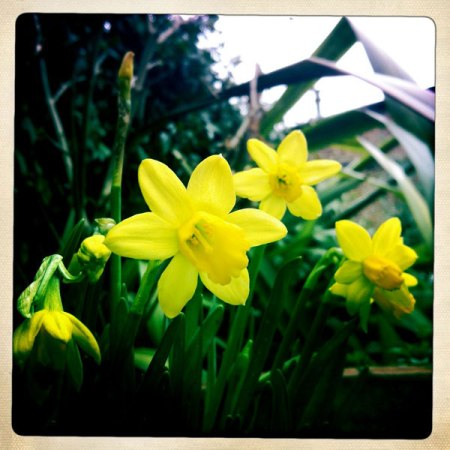 Narcissi in the garden