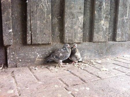 manky-pigeons