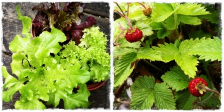 lettuces and strawberry plant collage