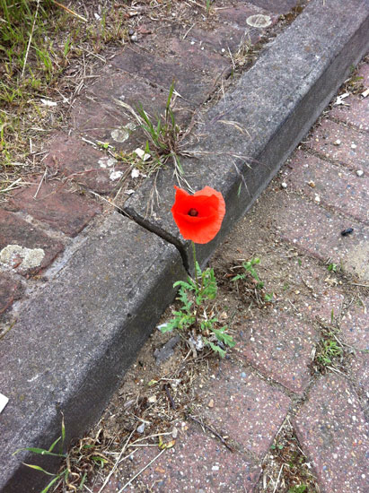 poppy in the gutter
