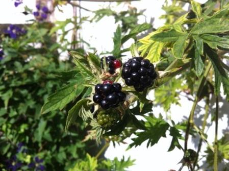 gdn blackberry_4716