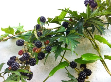 branch of blackberries
